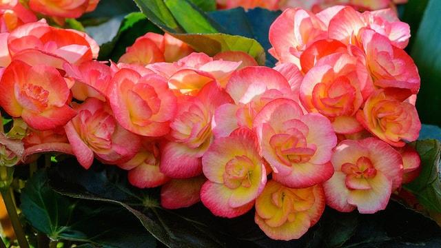 begonia-1-petermiller-min